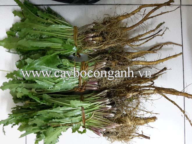 Bán Bồ Công Anh thấp nguyên cây - Taraxacum officinale