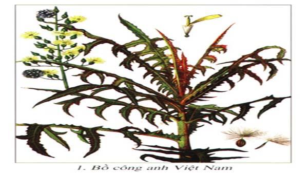 Giới thiệu cây bồ công anh Việt Nam