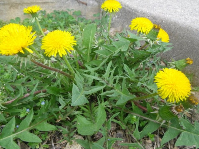 Những tác dụng chữa bệnh từ Lá, Hoa, Rễ cây Bồ công anh