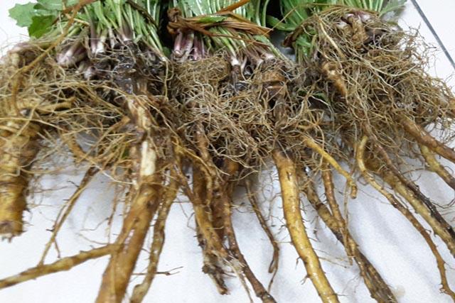 Hướng dẫn thu hoạch rễ cây bồ công anh đúng tiêu chuẩn