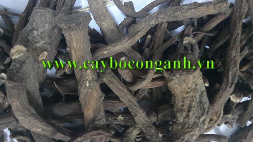 rễ bồ công anh, Cây Bồ Công Anh Thấp, Bồ Công Anh Trung Quốc